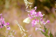 Farfalla dello zolfo su un fiore fotografia stock