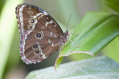 Farfalla di Achille Morpho Fotografia Stock Libera da Diritti
