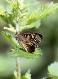 Farfalla di aegeria di Pararge Fotografie Stock
