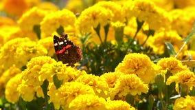 Farfalla di ammiraglio che si siede su un fiore giallo stock footage