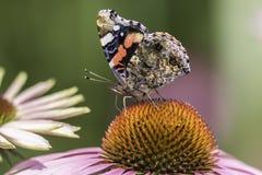 Farfalla di ammiraglio rosso nel profilo sul fiore dell'echinacea Fotografia Stock Libera da Diritti