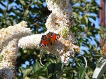 Farfalla di ammiraglio rosso su un albero di Buddleja Immagine Stock Libera da Diritti