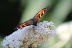 Farfalla di ammiraglio rosso sul Buddleia Immagine Stock