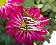 Farfalla di antaeus di Papilio Fotografia Stock Libera da Diritti