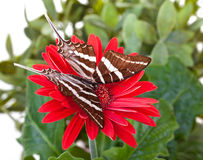 Farfalla di antaeus di Papilio Fotografia Stock