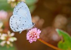 Farfalla di azzurro della sorgente Fotografia Stock Libera da Diritti