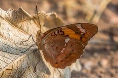 Farfalla di baronetto fotografia stock