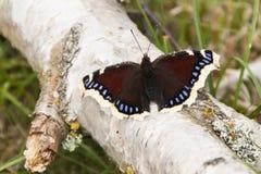 Farfalla di bellezza di Camberwell, antiopa del Nymphalis Fotografie Stock