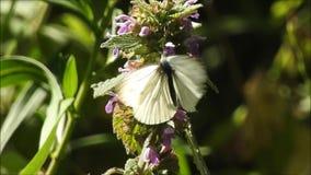 Farfalla di bianco di cavolo che riscalda le sue ali in sole di estate archivi video