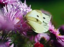 Farfalla di bianco di cavolo Fotografia Stock