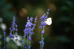 Farfalla di bianco di cavolo su lavanda Fotografia Stock