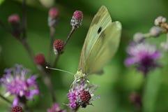 Farfalla di bianco di cavolo sul ironweed Fotografia Stock