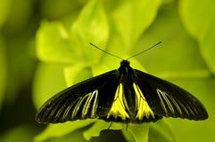 Farfalla di Birdwing Immagine Stock Libera da Diritti