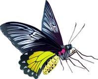 Farfalla di Birdwing Fotografia Stock Libera da Diritti