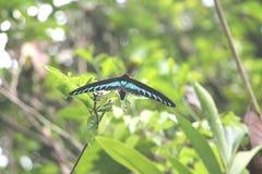 Farfalla di Birdwing immagini stock