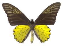 Farfalla di Birdwing Fotografia Stock