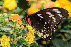 Farfalla di Birdwing dei cairn Fotografie Stock