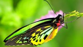Farfalla di Birdwing dei cairn (euphorion di Ornithoptera) Fotografia Stock Libera da Diritti