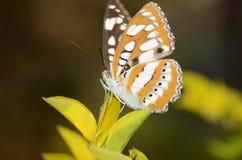 Farfalla di Brown Immagini Stock