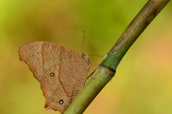 Farfalla di Brown Fotografia Stock Libera da Diritti