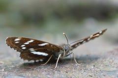 Farfalla di Brown con i punti bianchi (Limenitis) Fotografia Stock Libera da Diritti