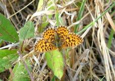 Farfalla di Brown su un'erba Fotografia Stock