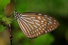 Farfalla di Brown su un fondo verde Fotografia Stock