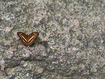 Farfalla di Brown su una roccia fotografia stock