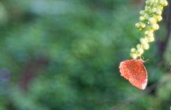 Farfalla di Brown sul seme di arenga pinnata fotografia stock libera da diritti