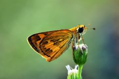 Farfalla di Brown sull'ageratum o sul fiore dell'erbaccia del pulcino fotografia stock
