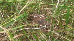 Farfalla di Brown sull'erba Immagini Stock Libere da Diritti