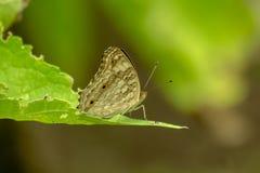 Farfalla di Brown sulle foglie immagine stock