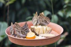 Farfalla di Caligo Eurilochus su un piatto d'alimentazione Immagine Stock