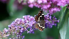 Farfalla di camminata della mappa al fiore rosa di Buddleja video d archivio