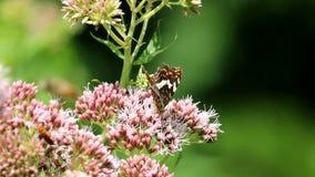 Farfalla di camminata della mappa nella pianta rosa stock footage