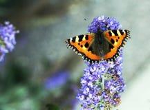 Farfalla di carapace Fotografia Stock