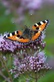 Farfalla di carapace Immagine Stock