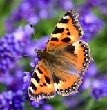 Farfalla di carapace (urticae di Aglais) Fotografia Stock