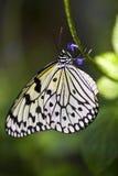 Farfalla di carta del cervo volante Immagine Stock Libera da Diritti