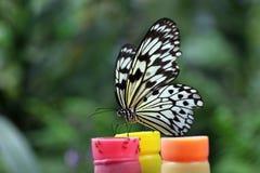 Farfalla di carta del cervo volante (leuconoe di idea) Fotografie Stock