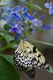 Farfalla di carta del cervo volante su Clerodendrum blu Immagini Stock
