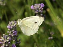 Farfalla di cavolo bianco Fotografie Stock