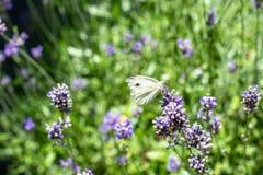 Farfalla di cavolo che beve dalla lavanda Immagine Stock