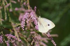 Farfalla di cavolo o grande bianco sull'erica fotografia stock
