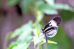 Farfalla di chiave del piano di Longwing sulle foglie verdi Fotografia Stock