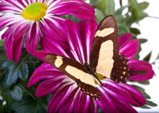 Farfalla di cinyras di thoas di Papilio Immagini Stock