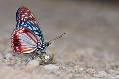 Farfalla di Circe Immagine Stock