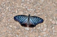 Farfalla di Circe Fotografia Stock Libera da Diritti