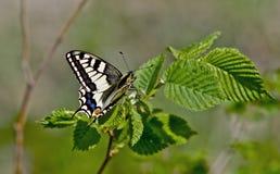 Farfalla di coda di rondine. Fotografie Stock