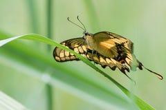 Farfalla di coda di rondine di Thoas Immagini Stock